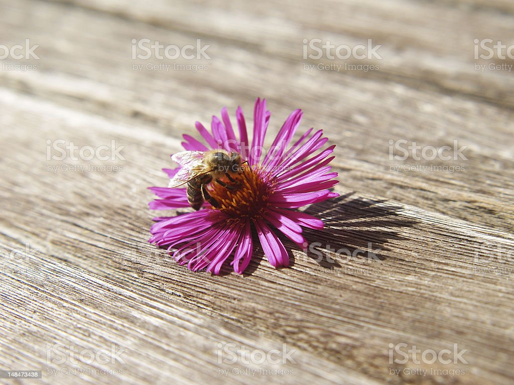 bee on pink aster, soft , with short depth of field royalty-free stock photo