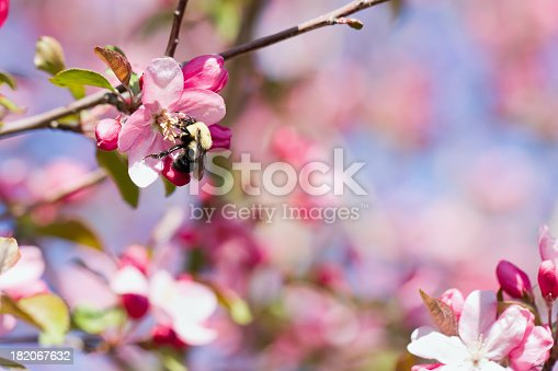A bee on a pink Crab Apple blossom.