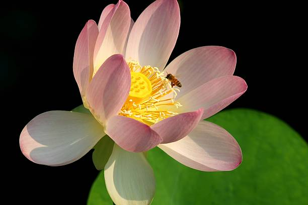 Bee on pink lotus stock photo