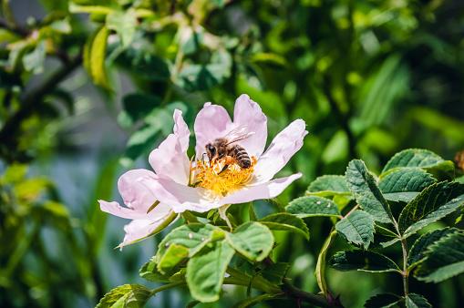 Bee on pink rosehip flower, close up. Summer time. Beekeeping.