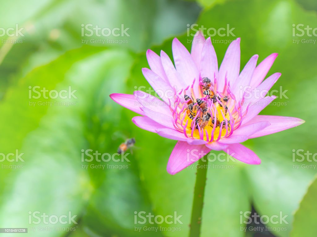 Bee On Pollinating Of Lotus Flower 1 Stock Photo More Pictures Of