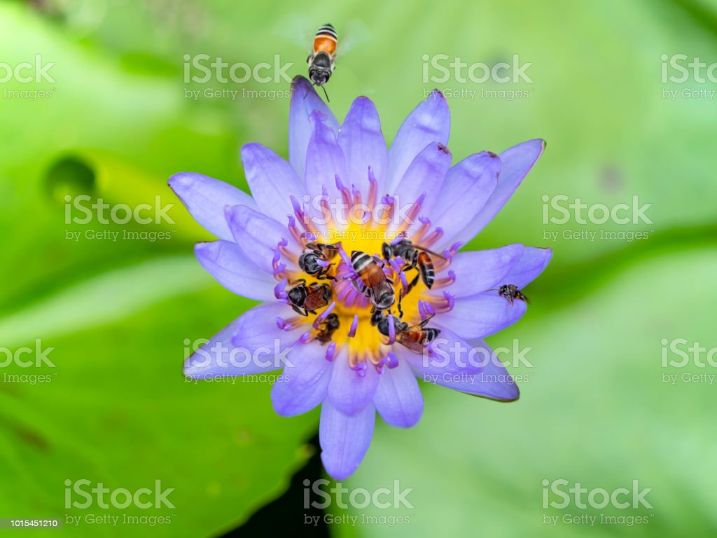 Bee On Pollinating Of Lotus Flower 5 Stock Photo More Pictures Of