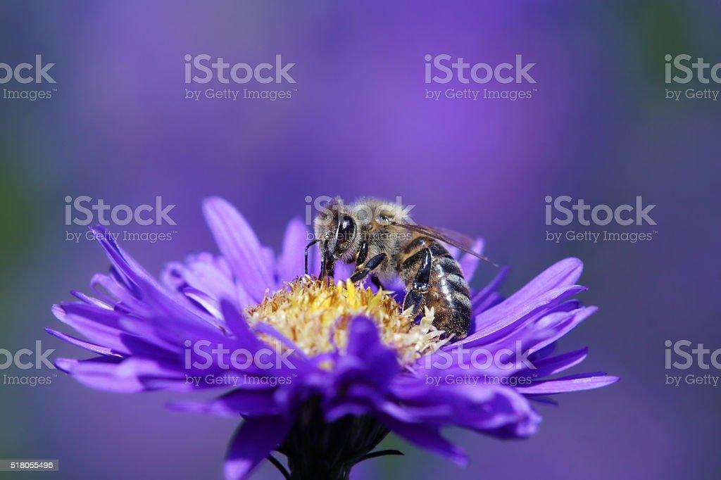 Bee on purple aster stock photo