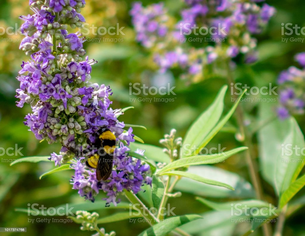 bee on purple flower close stock photo