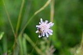 Bee on purple flower. Slovakia