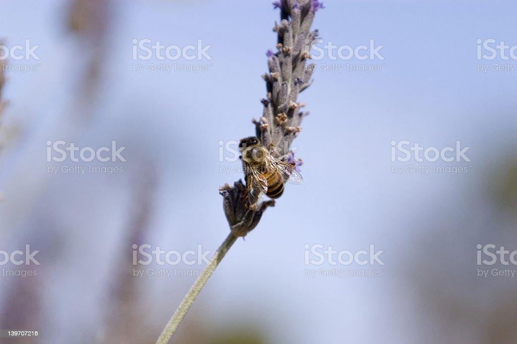 Bee on Purple Flower stock photo