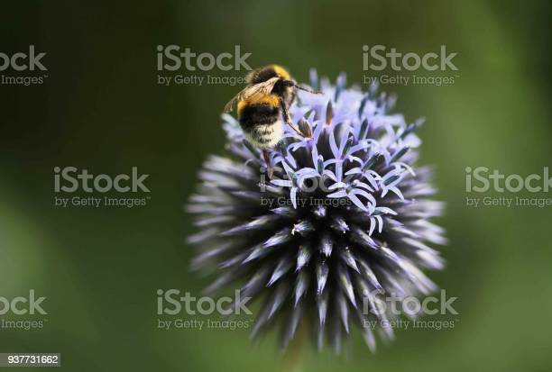 Bee on purple flower picture id937731662?b=1&k=6&m=937731662&s=612x612&h=0tzvu4w7ssjfq3msakysx4vwzgop2srytq4vjbdrias=
