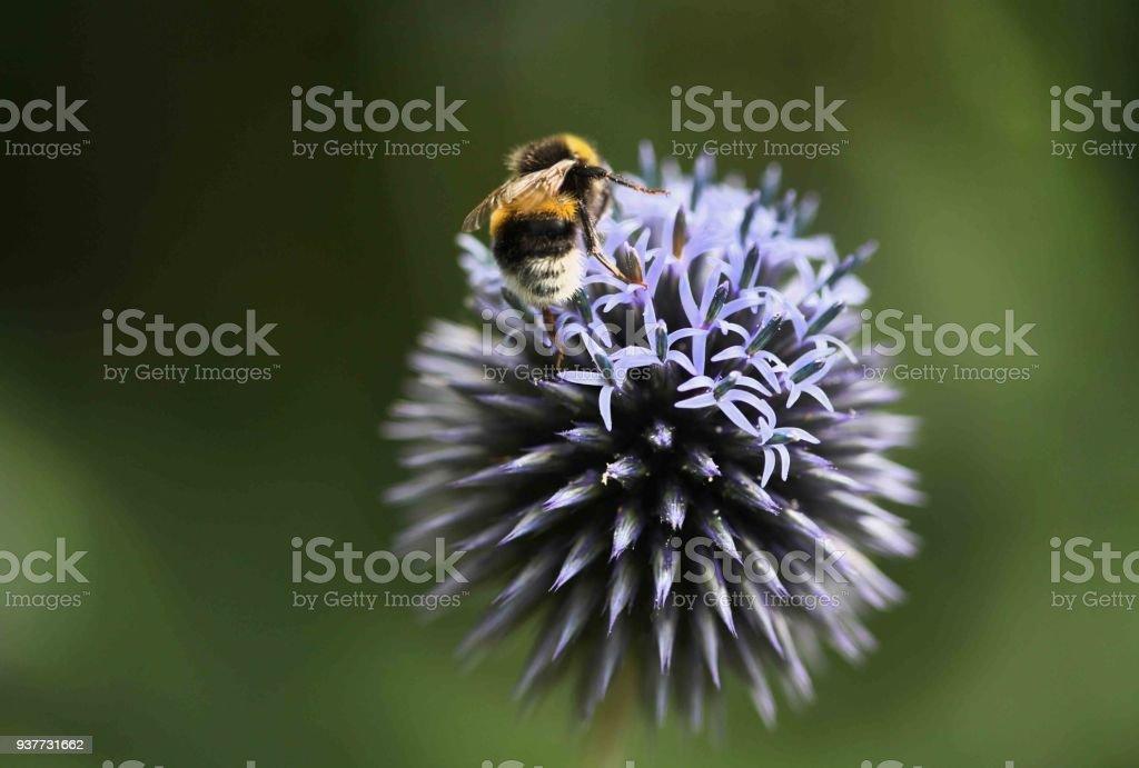 Biene auf Lila Blüte – Foto