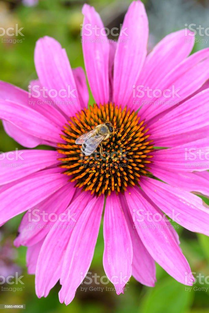 Bee on Purple Pink Flower Pollinating photo libre de droits