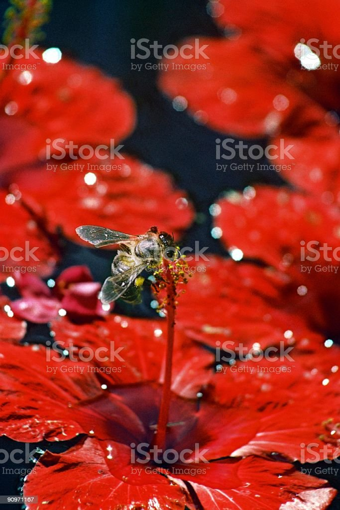 Bee on red hibiscus royalty-free stock photo