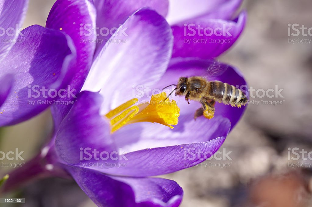 Bee on Spring Crocus royalty-free stock photo