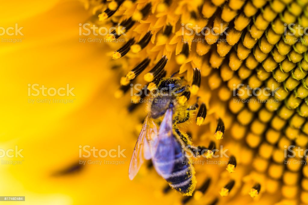 Bee on sunflower. Flower of sunflower close-up, natural background.