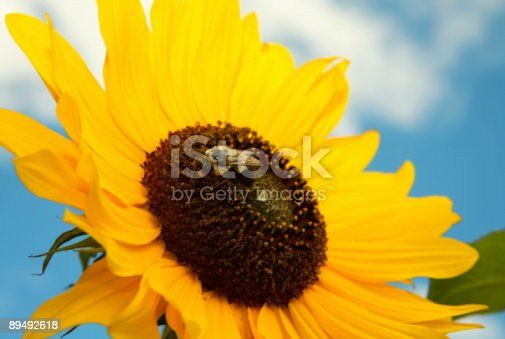 Macro of a sunflower with a bee.