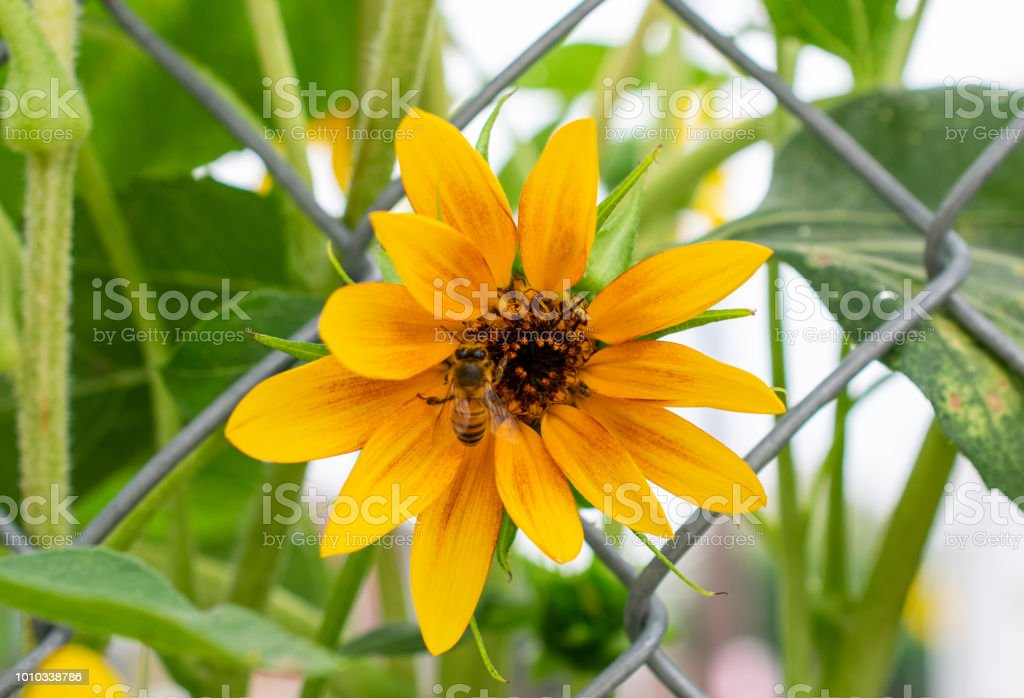 bee on sunflower with fence stock photo