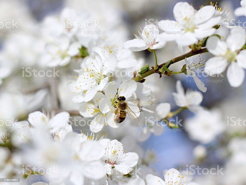 Bee on the flower of cherry royalty-free stock photo