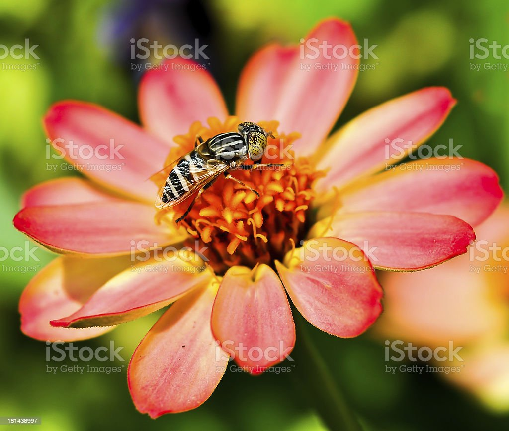 Bee on the Flower. royalty-free stock photo
