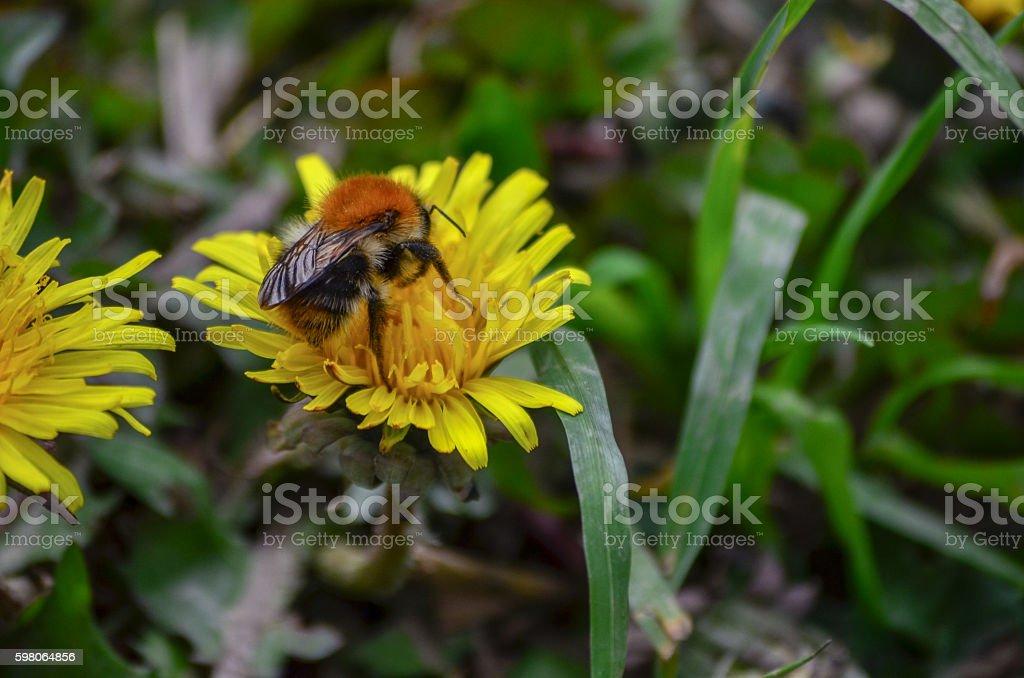 Abeille sur la Fleur  - Photo