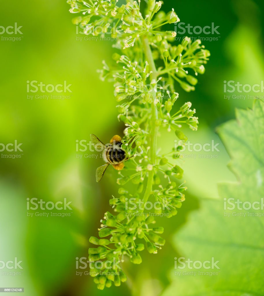 bee on the green grapes stock photo