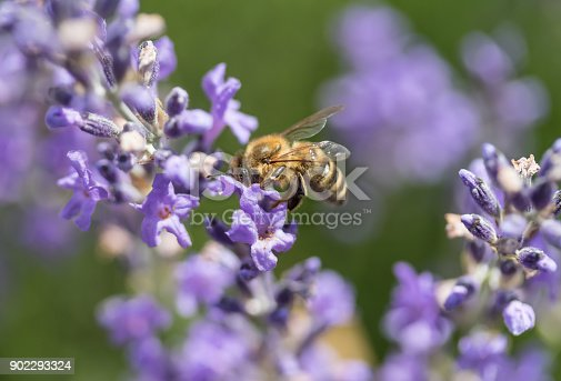 istock Bee on the lavender flowerside view 902293324