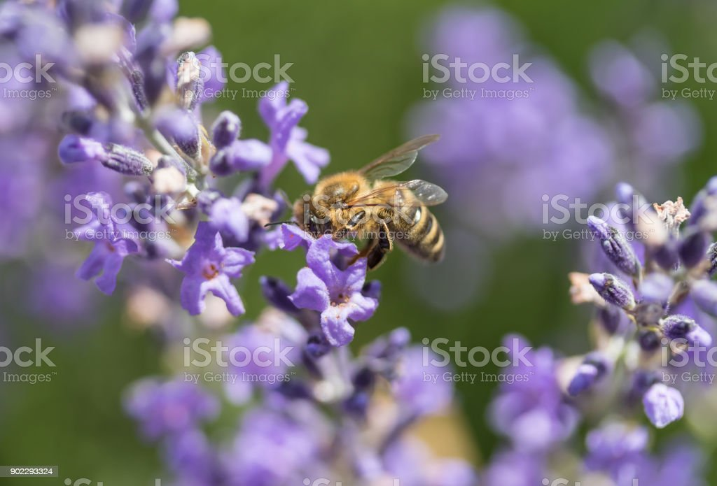 Bee on the lavender flowerside view stock photo