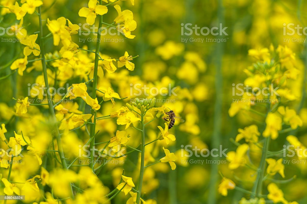 Bee on the Rapeseed Blossom. Macro Photo Shoot. Blurry Background. foto de stock libre de derechos