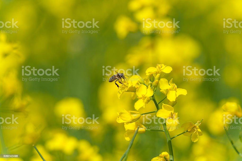 Bee on the Rapeseed blossom. Macro photo shoot royalty-free stock photo