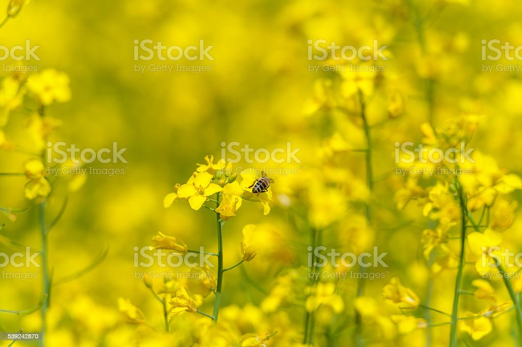 Bee on the Rapeseed blossom. Macro photo shoot foto de stock libre de derechos