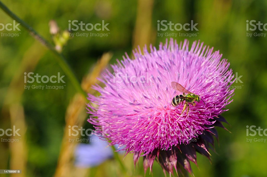 Bee on thistle royalty-free stock photo