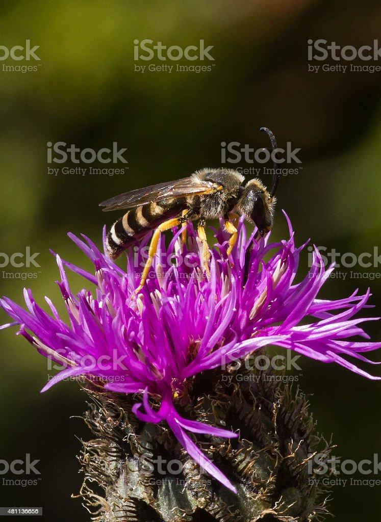 Bee on thistle stock photo