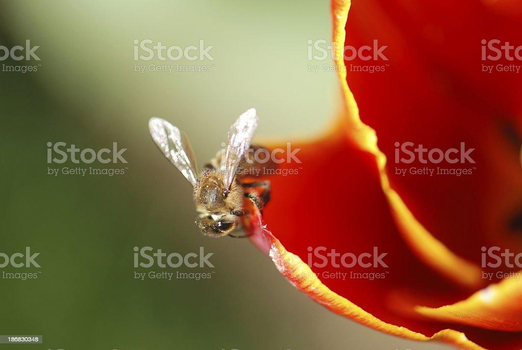 Bee on Tulip royalty-free stock photo