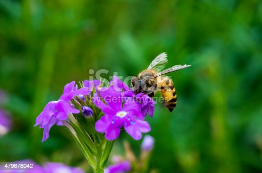 istock Bee on vegetable mercury flower 479678042