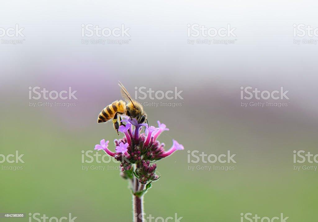 Bee on Verbena flowers stock photo