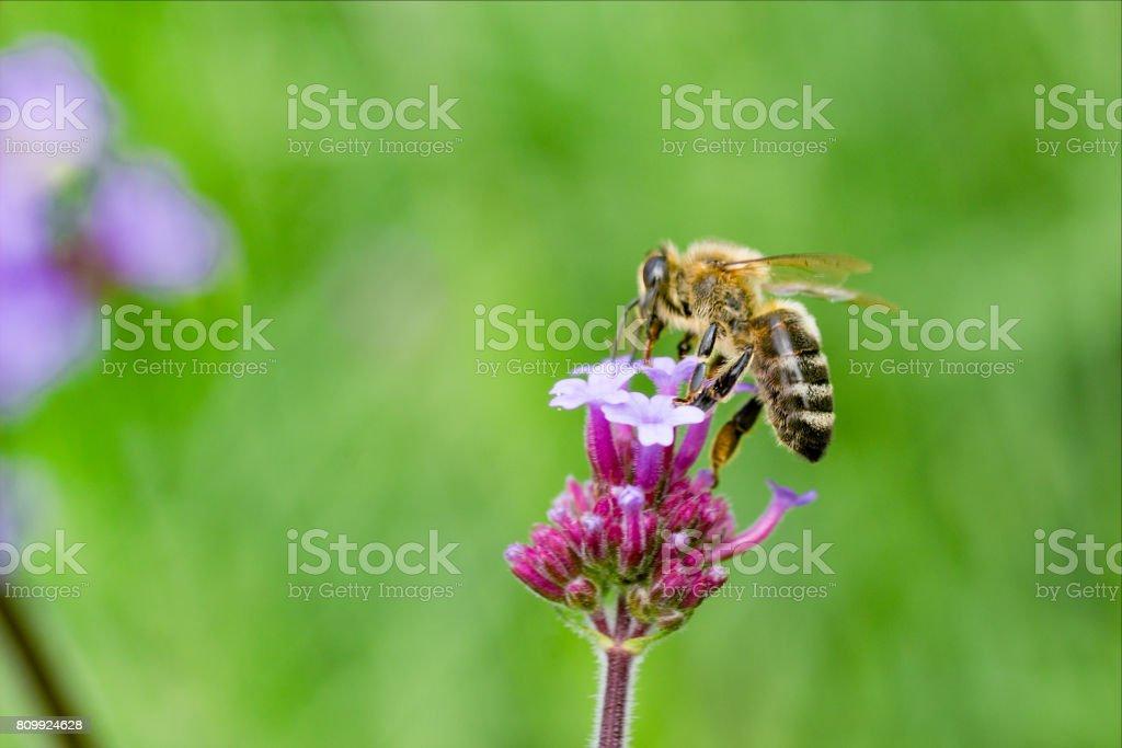 Bee on Verbena stock photo