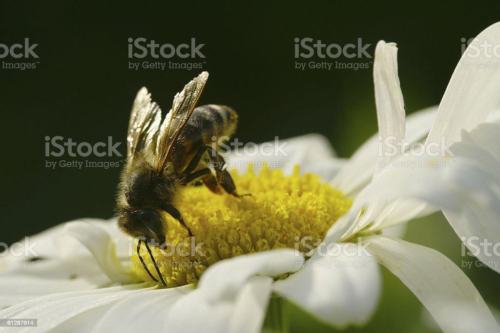 Abeille sur blanc daisy 2 - Photo