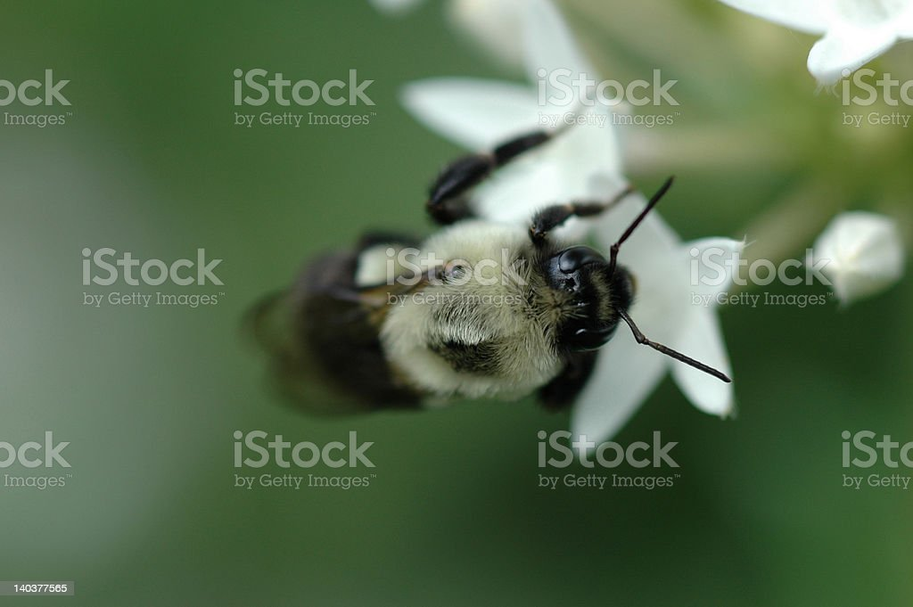 Bee on white flower stock photo