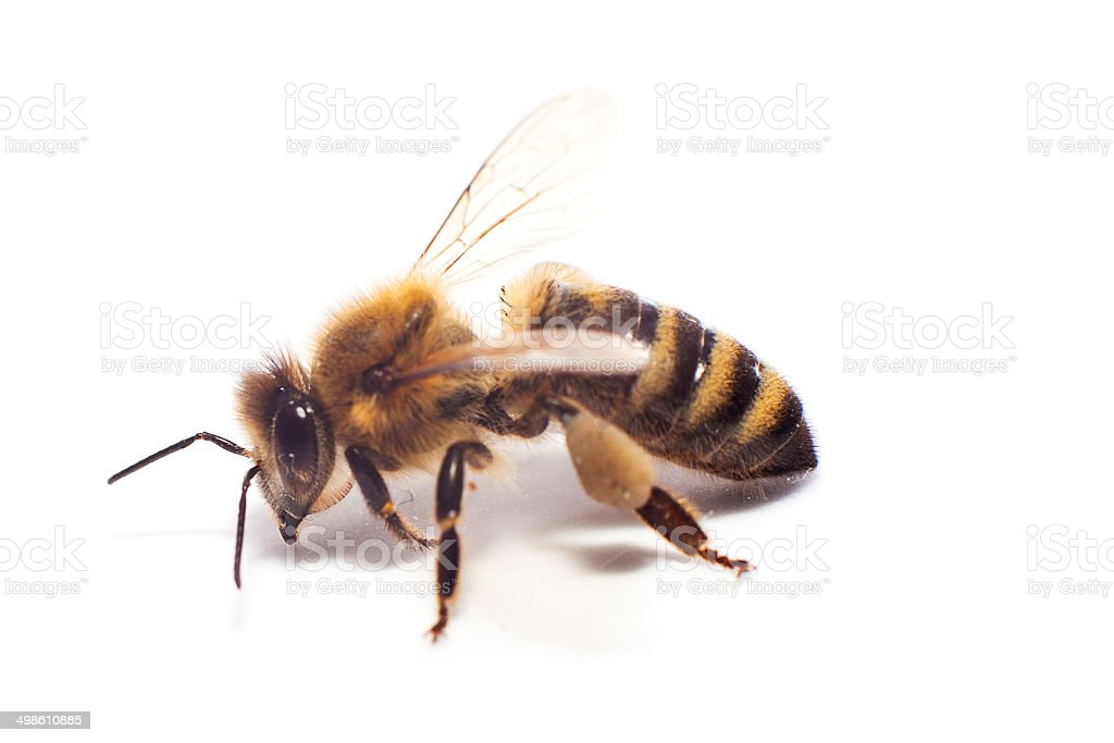 bee on white stock photo