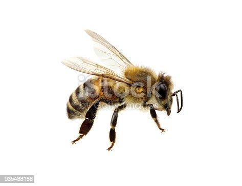 istock Bee on white 935488188