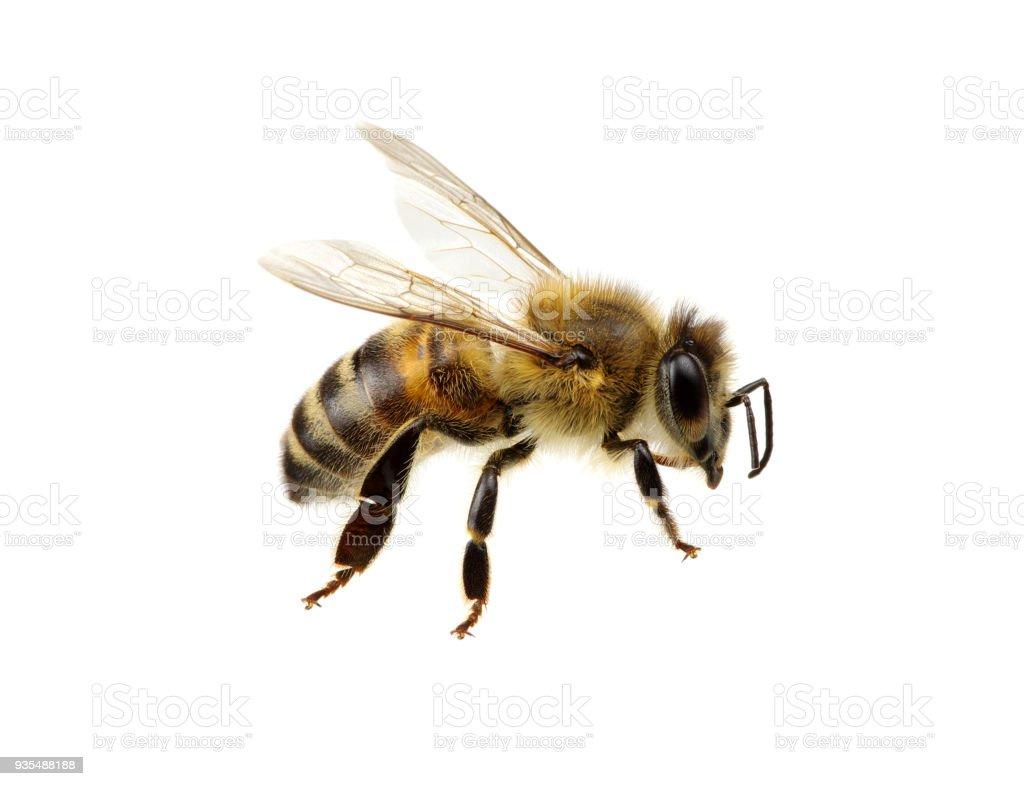 Bee on white – zdjęcie