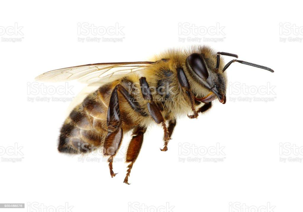 Biene auf Weiß – Foto