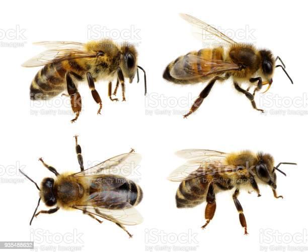 Bee on white picture id935488632?b=1&k=6&m=935488632&s=612x612&h=nhme08cc8r thwvcnqgnt8tpfrokxooicr2hvsvtwye=