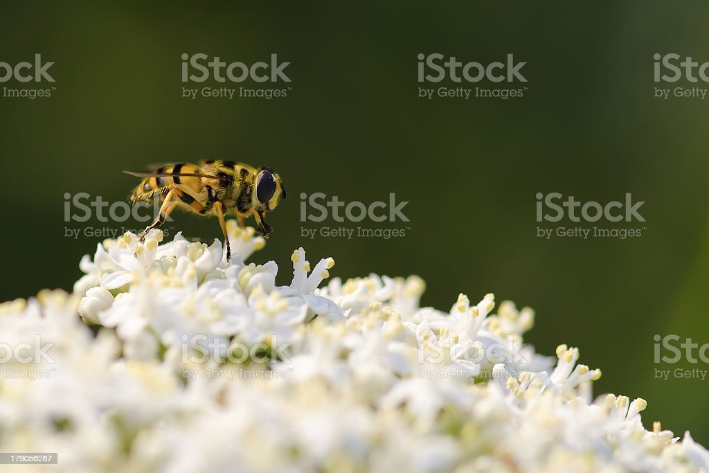 Bee on white wild flower royalty-free stock photo