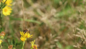 Large bee on a yellow flower in a meadow area, exploring the nature around and searching for nectar to feed off.