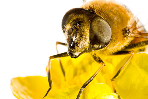 bee on yellow flower in extreme close up stock photo