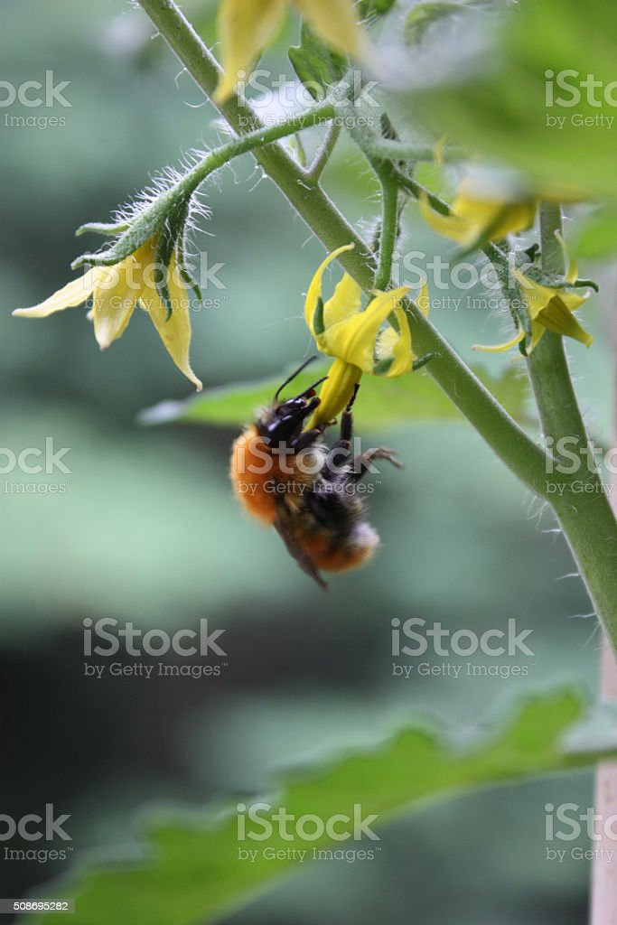 Bee on yellow flower of tomato plant in the garden stock photo
