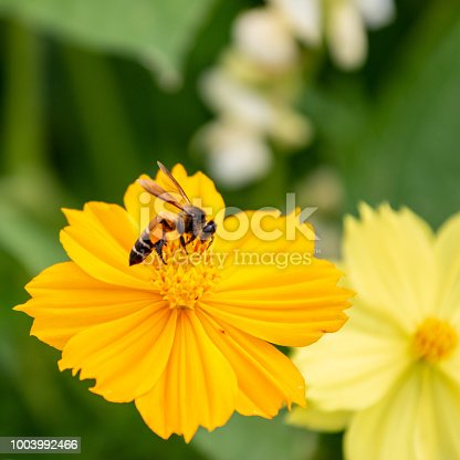 close up bee on yellow flower.