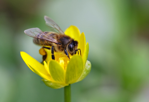 istock Bee on yellow flower. 147915064