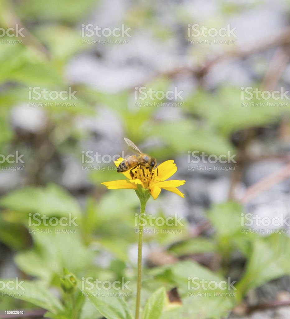 Bee on yellow wild flower royalty-free stock photo