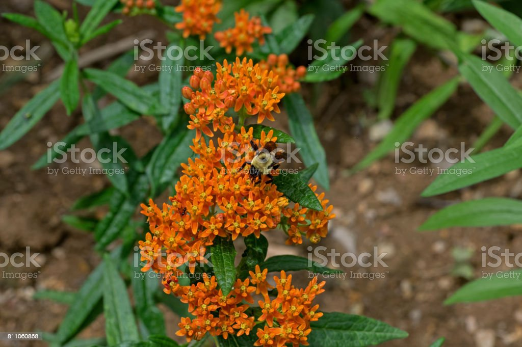 Bee onButterfly Weed stock photo