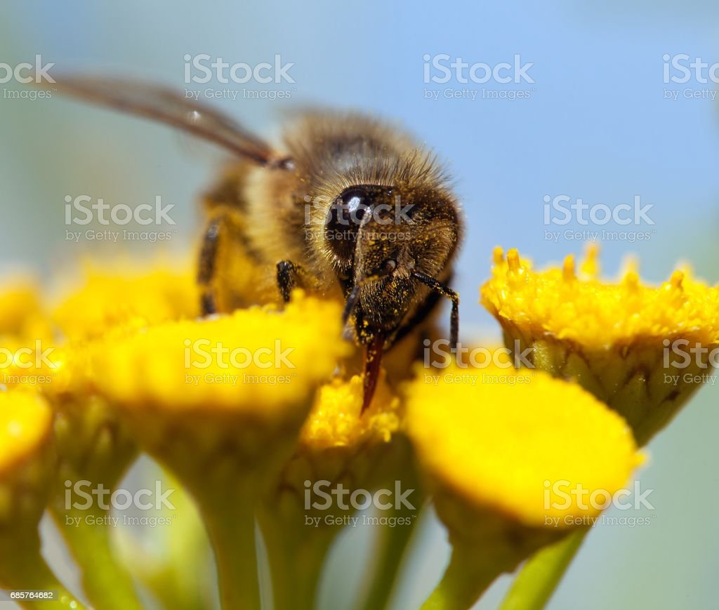 bee or honeybee in Latin Apis Mellifera royalty-free stock photo