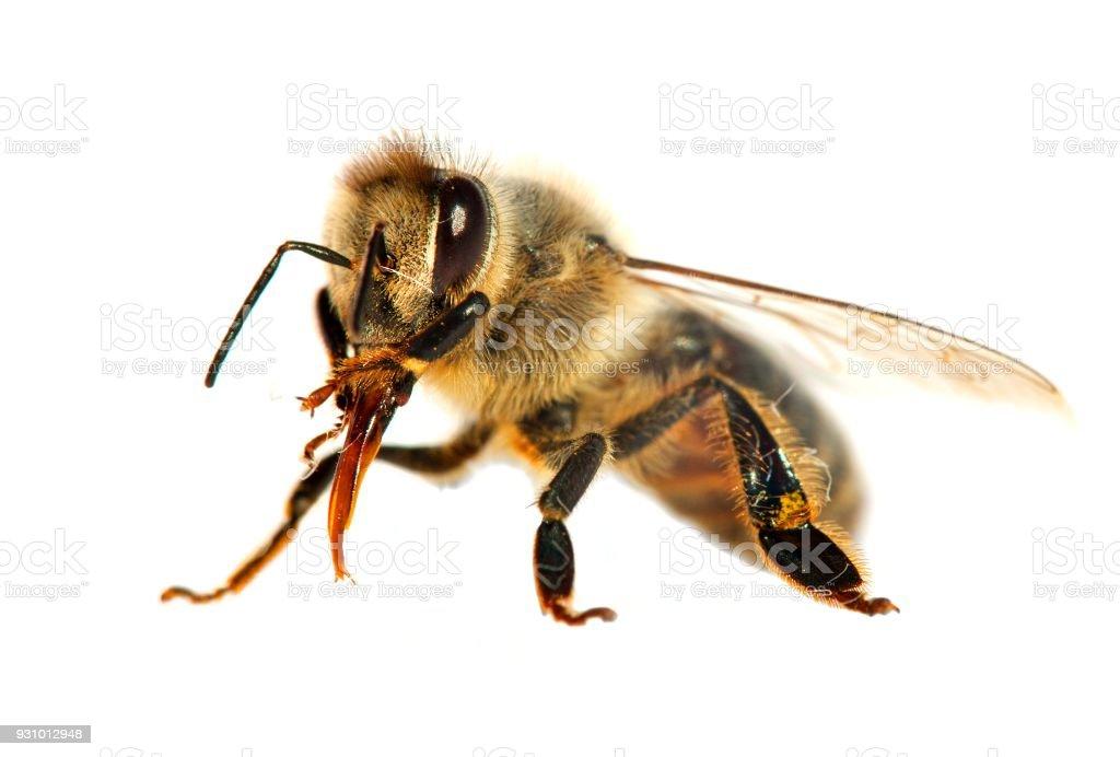 Biene Oder Honigbiene In Lateinisch Apis Mellifera Stock-Fotografie ...